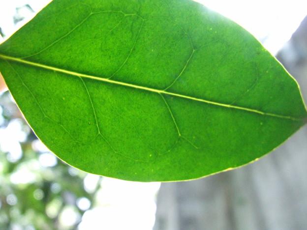 Photos: ネズミモチの葉