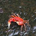 Photos: でっかい蟹