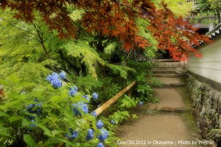 普門寺の紫陽花(3)