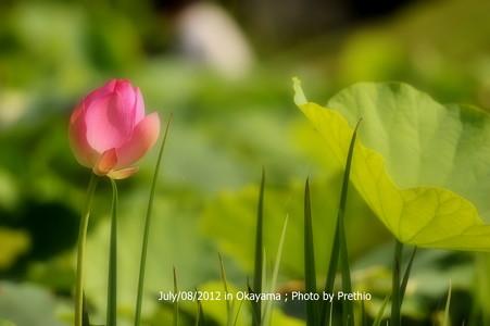 高松城跡公園の蓮(8) 2012