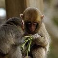 Photos: 小猿(3)