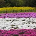 芝桜と菜の花の植え込みがあるのを発見