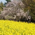 枝垂れ桜を入れ込んでみたり