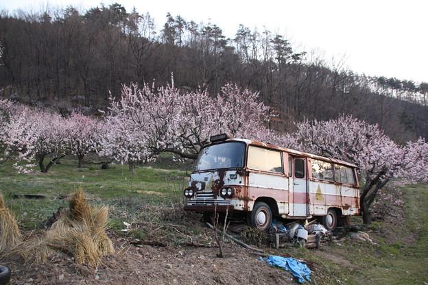 杏の花とトヨペットマイクロバス