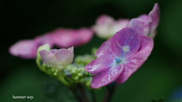 サンルージュも開花!
