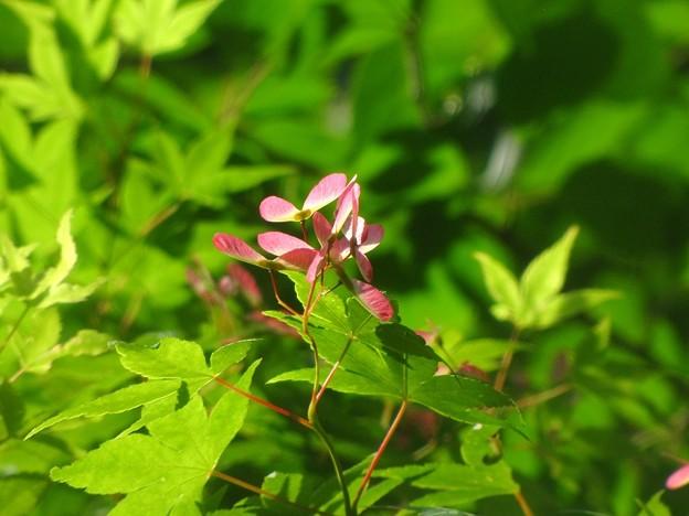 「春の日差しと・・紅葉の種・・」 ・・・・