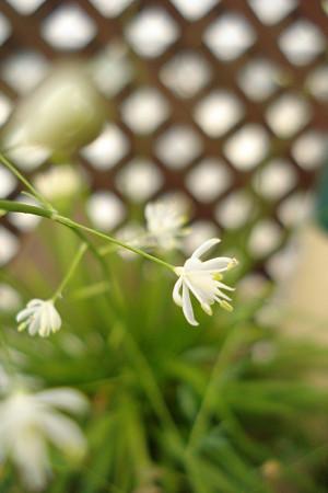 花セキショウ2
