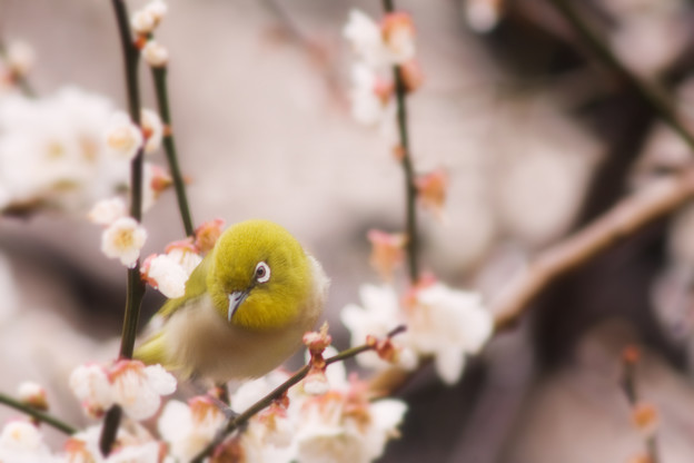 Photos: 白梅とわたし
