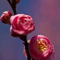 Photos: バラの花