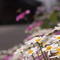 Photos: 小京都の花