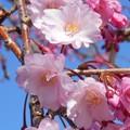 思い出の べにしだれいと桜 in 千光寺山