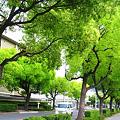 写真: 新緑の並木通り