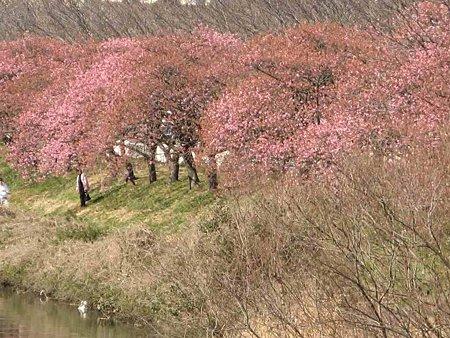 fujishi oonogawa sakura-190220-3