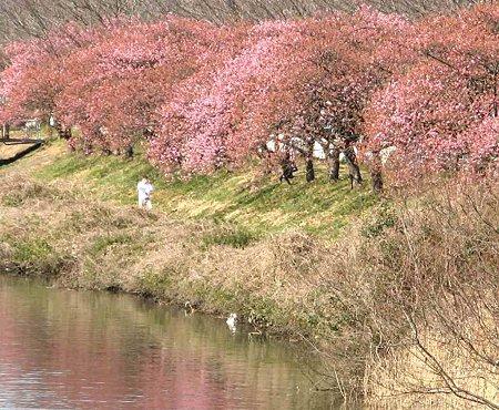 fujishi oonogawa sakura-190220-5