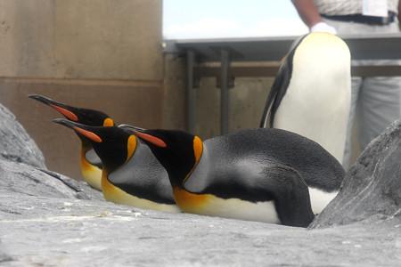 旭山動物園(ペンギン)