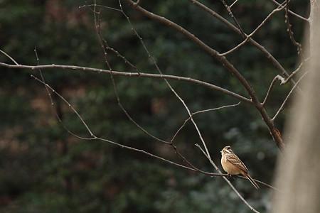 ホオジロ(♀)