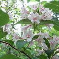 タニウツギ(谷空木)