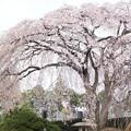 Photos: しだれ桜 C04095