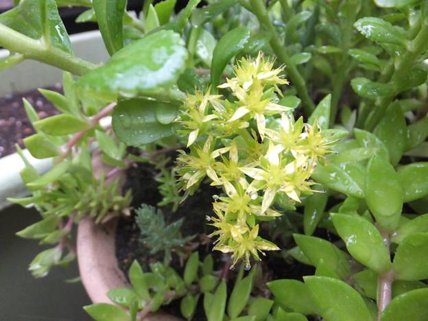 開花 ツルマンネングサ