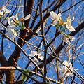 Photos: 2007.10.12 秋なのに!桜咲いてます! 005