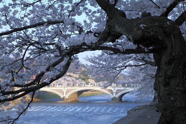 浅野川と満開の桜