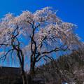 千恵子桜(3)