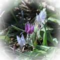 Photos: 春の妖精  紅白のカタクリ