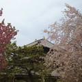 二色の桜と東大寺