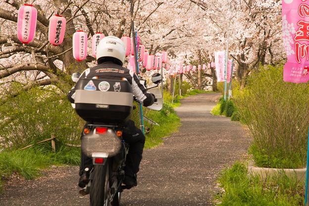 ご近所桜道で自撮り・2