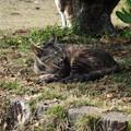 Photos: 叶崎灯台の猫・2