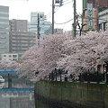 写真: 大岡川の桜