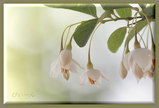 エゴの花・・・幻想的な安らぎ・・・
