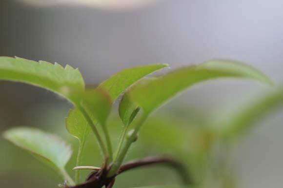 冬咲きクレマチスの花芽