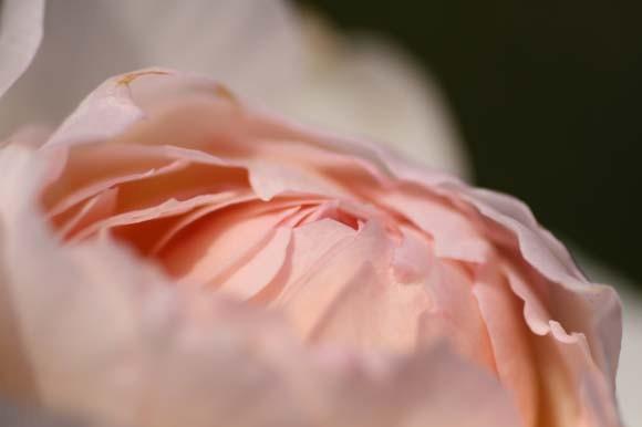 なるほどシャローカップ咲きの感じがでてきてます