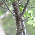 写真: コゲラの巣穴