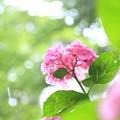 Photos: 雨に喜ぶ紫陽花