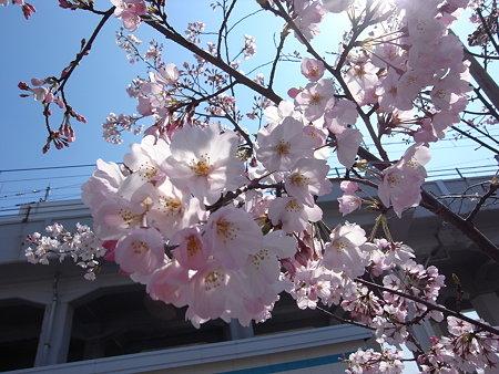 常磐線と日比谷線の間の道の桜(2009/3/27)