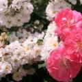 可児市「花フェスタ」のバラ園