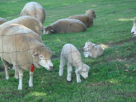 札幌羊ヶ丘の羊たち