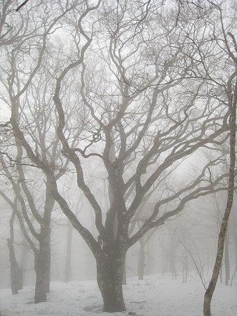 見事なブナの巨木