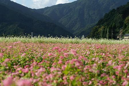 蕎麦のお花畑
