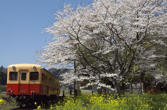 写真: 小湊鉄道の桜 04