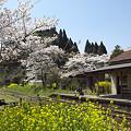 写真: 小湊鉄道の桜 06