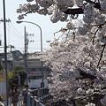 写真: 東戸塚の桜 15