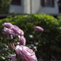 写真: 港の見える丘公園のバラ 03