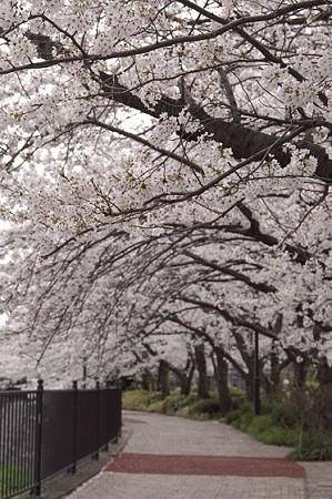柏尾川の桜 01