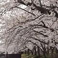 写真: 柏尾川の桜 01