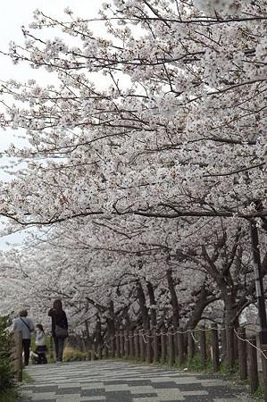 柏尾川の桜 05