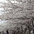 写真: 柏尾川の桜 05