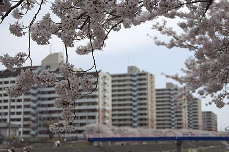 柏尾川の桜 07